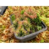 Sementes plantas carnívoras Drosera capensis