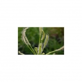 "Sementes planta carnívora Drosera capensis ""alba"""