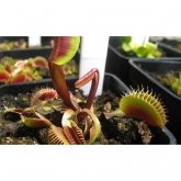 Sementes planta carnívora mix Dionaea muscipula