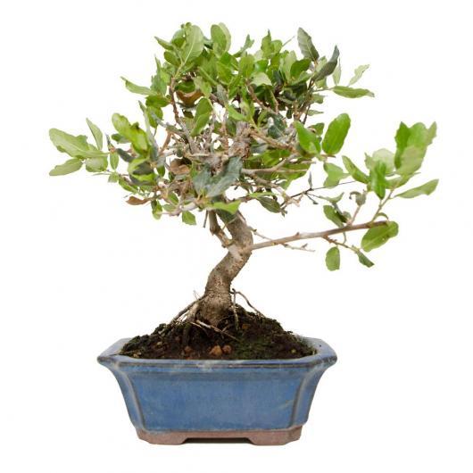 Quercus suber 6 años ALCORNOQUE