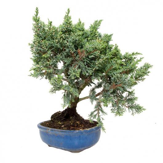 Juniperus chinensis SABINA (Genévrier sabine) 9 ans