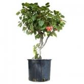 Pré-bonsái Malus sp. 17 anos MACIEIRA