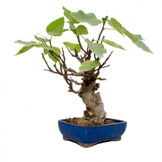 Ficus carica (Bourgeons de figuier) 13 ans
