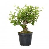 Pré-bonsai Malus sp. 16 anos MACIEIRO