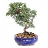 Juniperus chinensis 14 anos