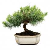 Pinus Halepensis 6 anos