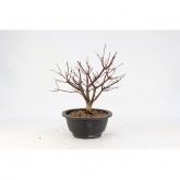 Acer palmatum 10 anos ARCE (vaso de plástico)