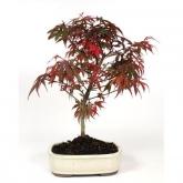 Acer palmatum shaina 14 anni ARCE