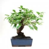 Prunus mahaleb 8 anos