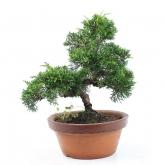 Juniperus chinensis 18 anos