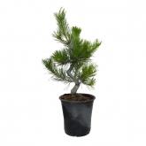Prebonsai Pinus thunbergii 19 anos