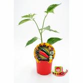 Muda biológica de malagueta picante Chile Serrano, vaso 10,5 cm diâmetro