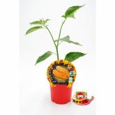 Muda biológica de malagueta picante Jay's Peach Ghost Scorpion, vaso 10,5 cm de diâmetro