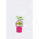 Muda biológica de Verbena de Limão, vaso 10,5 cm de diâmetro