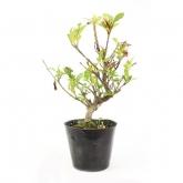 Gardenia jasminoides 10 anos