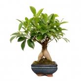Ficus retusa ginseng 3 años