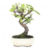 Ficus carica 9 anni HIGUERA