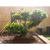 Ficus india 29yrs old