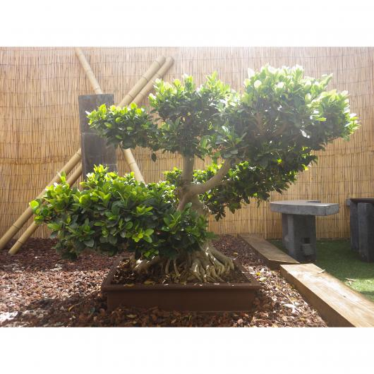 Ficus india 29 años