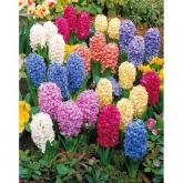 Bulto di Hyacinthus colori vari Elite 3u