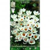 Bulbo Crocus bianco Elite 20u