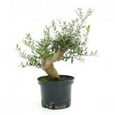 Pré-bonsaï Olea europaea 9 ans