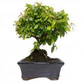 bonsai Segeretia theezans. 5 años