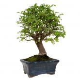 Zelkova parvifolia 5 anos Ulmeiro chinês