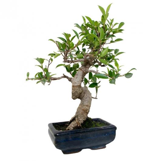 Ficus retusa 6 años