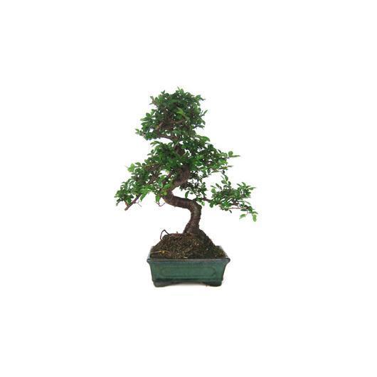 Zelkova parvifolia 6 anni OLMO CINESE