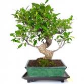 Plato bonsáis de plástico con pies