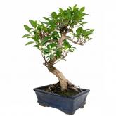 Ficus retusa 8 anos