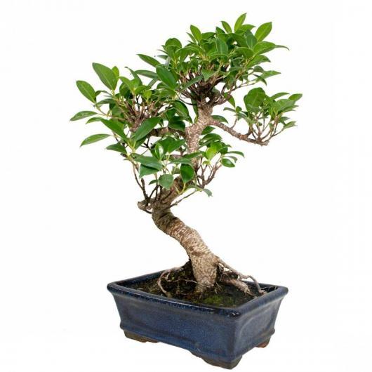 Ficus retusa 8 ans
