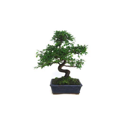 Zelkova parvifolia 8 anni OLMO CINESE
