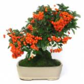Pyracantha sp. 8 yrs old
