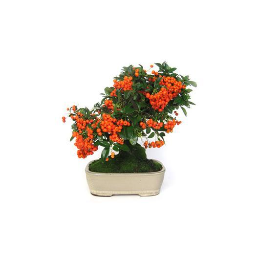 Pyracantha sp. (buisson ardent) 8 ans