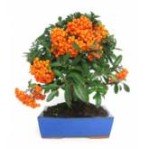 Pyracantha sp. 9 yrs old