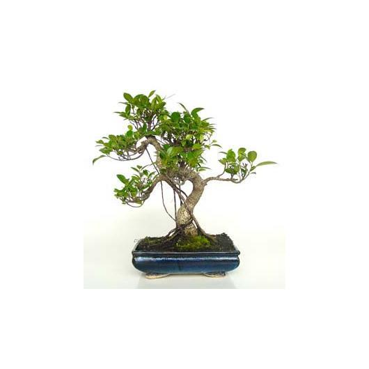 Ficus retusa 10 ans