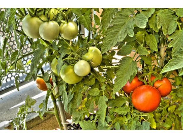 Guide sur la culture de la tomate