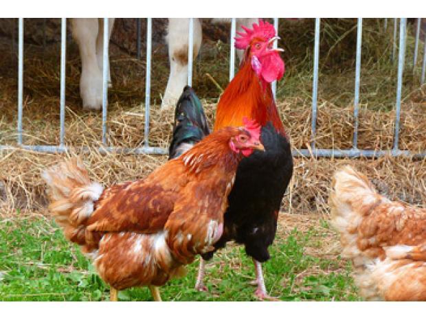 Gu a sobre la cr a de gallinas planeta huerto for Como hacer un criadero de cachamas