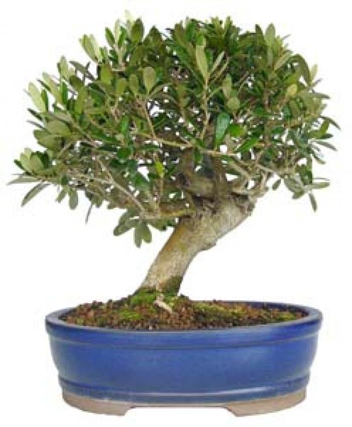 comprar bonsáis olivo - envío 24 horas