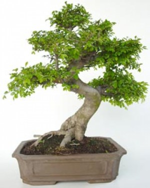 bonsái zelkova