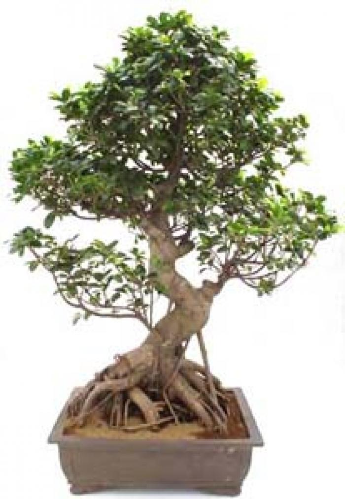 Ficus india