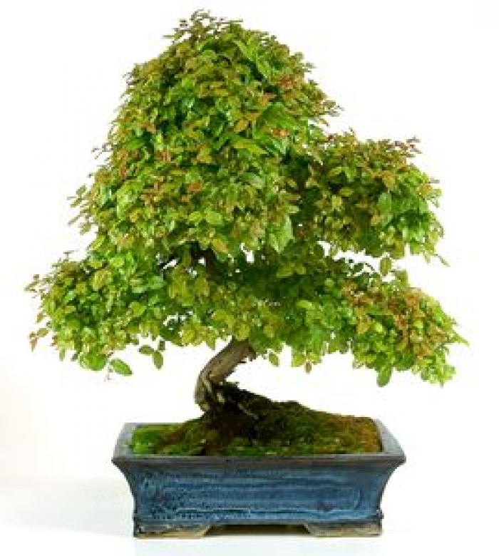 bonsái sageretia