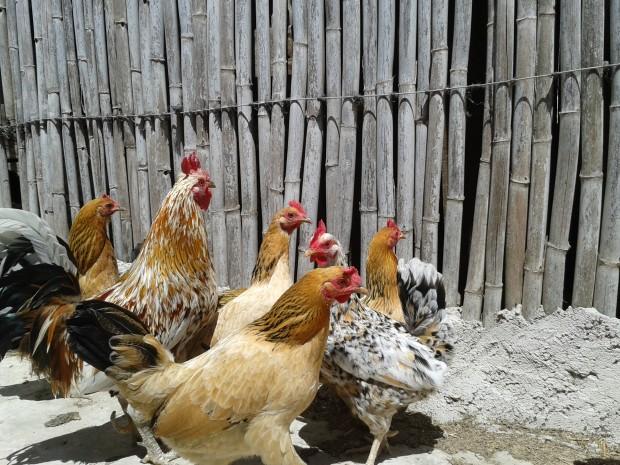 Alimentación completa para las gallinas