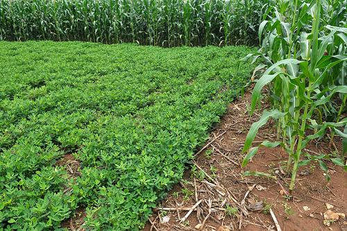Rotaciones de cultivo en agricultura ecol gica planeta for Rotacion cultivos agricultura ecologica