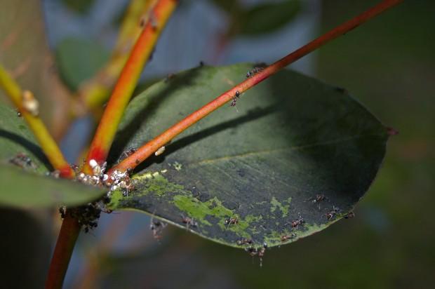 Hongo negrilla
