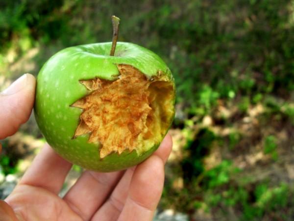 manzana huerto de tomas