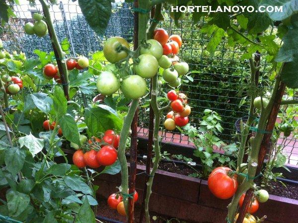 Entutorado tomateras