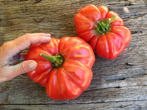 tomates en el huerto de tomas